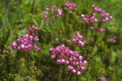 Mountain Heather