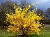 photo Garden Flowers Forsythia yellow