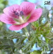 photo Garden Flowers Cape Mallow, Anisodontea capensis pink