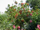 photo Garden Flowers Bottlebrush, Callistemon red