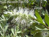 photo Garden Flowers Bottlebrush, Callistemon white