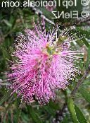 photo Garden Flowers Bottlebrush, Callistemon pink