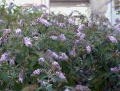 lilac Butterfly Bush, Summer Lilac
