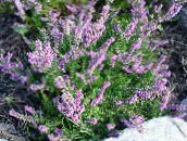 lilac Heather