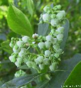 photo Garden Flowers Maleberry, Lyonia white