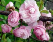 Double Flowering Cherry, Flowering almond