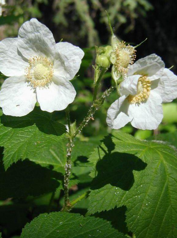 цветок малины фото вот откуда
