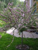 photo Garden Flowers Almond, Amygdalus pink
