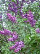 purple Common Lilac, French Lilac