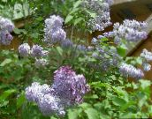 lilac Common Lilac, French Lilac