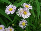 rose Aster Bolton, Daisy De Poupée Blanche, Aster Fausse, Fausse Camomille