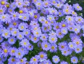 light blue Swan River daisy