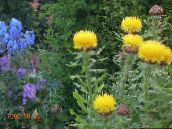 photo  Yellow Hardhead, Bighead Knapweed, Giant Knapweed, Armenian Basketflower, Lemon Fluff Knapweed, Centaurea macrocephala (Grossgeimia) yellow