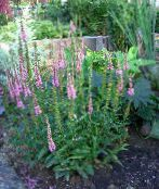 photo Garden Flowers Longleaf Speedwell, Veronica longifolia pink