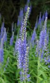 photo Garden Flowers Longleaf Speedwell, Veronica longifolia light blue