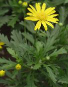 Bull's Eye, Daisy Bush, African Bush-daisy, Paris Daisy, Golden Daisy Bush
