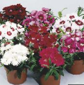 rot Dianthus, China Rosa