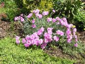 photo Garden Flowers Dianthus perrenial, Dianthus x allwoodii, Dianthus  hybrida, Dianthus  knappii pink