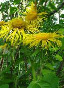 Showy Elecampagne, Elecampane Magnificent