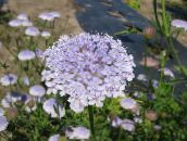 lilac Blue Lace Flower, Rottnest Island Daisy