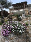 photo Garden Flowers Cape Marigold, African Daisy, Dimorphotheca pink