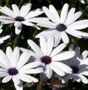 photo Garden Flowers Cape Marigold, African Daisy, Dimorphotheca white