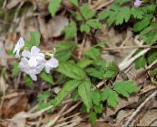 photo Garden Flowers Dentaria, Dentaria, Cardamine white