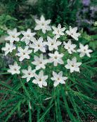 white Spring Starflower