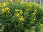 yellow Curled Tansy, Curly Tansy, Double Tansy, Fern-leaf Tansy, Fernleaf Golden Buttons, Silver Tansy