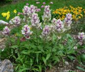 photo Garden Flowers Indian Paintbrush, Castilleja lilac