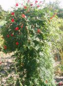 Cardinal Climber, Cypress Vine, Indian Pink