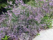 photo Garden Flowers Sea lavender, Limonium platyphyllum lilac