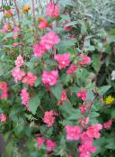 Clarkia, Garland Flower, Mountain Garland