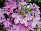 photo Garden Flowers Clematis pink