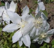 photo Garden Flowers Clematis white