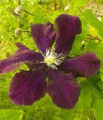 photo Garden Flowers Clematis burgundy