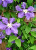 photo Garden Flowers Clematis lilac