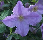 photo Garden Flowers Clematis light blue