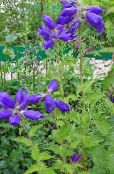 blue Campanula, Bellflower