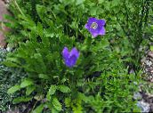 blue Campanula, Italian Bellflower