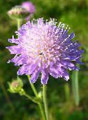 photo Garden Flowers Knautia lilac