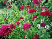photo Garden Flowers Knautia burgundy
