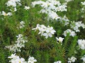 photo Garden Flowers False Baby Stars, Leptosiphon white