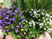 Edging Lobelia, Annual Lobelia, Trailing Lobelia