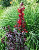 photo  Cardinal flower, Mexican lobelia, Lobelia fulgens red