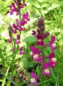 rose Linaria Bipartita