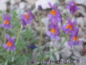 photo Garden Flowers Linaria lilac