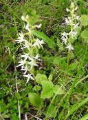 Species Orchid, Lesser Butterfly Orchid, Two-Leafed Platanthera