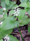 False Lily of the Valley, Wild Lily of the Valley, Two-leaf False Solomon's Seal