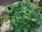 green Lady's mantle